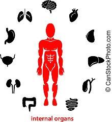 menschliche innere Organe.