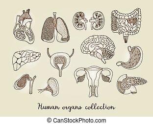 menschliche , intern, hand, organe, gezeichnet, vektor, koerperbau, satz, sammlung