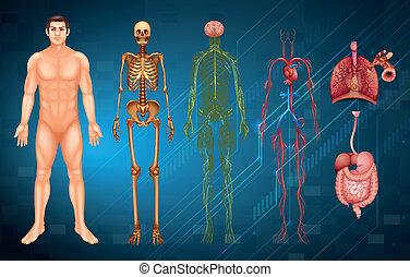 Menschliche Körpersysteme.