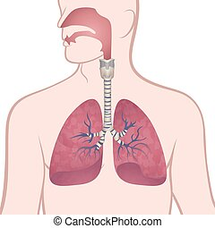 Menschliche Lungen, Trachea und Nasopharynx.