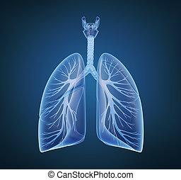 Menschliche Lungen und Bronchi in Röntgen.