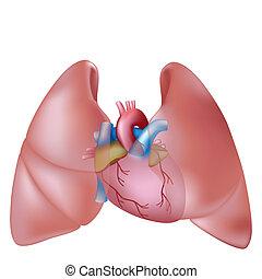 Menschliche Lungen und Herz