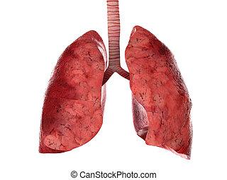 Menschliche Lungen und Luftröhren