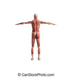 Menschliche Muskelanatomie 3d Render auf weiß.