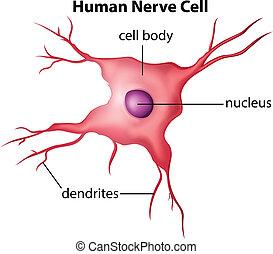 Menschliche Nervenzelle.