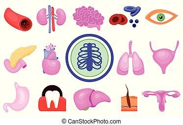 menschliche , organe, koerper