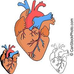 menschliche , schwarz, skizze, gezeichnet, linien, vektor, herz, weißes, abbildung, gekritzel, hand, freigestellt, koerperbau, hintergrund