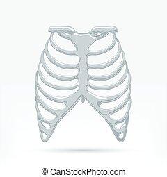 menschliche , thorax