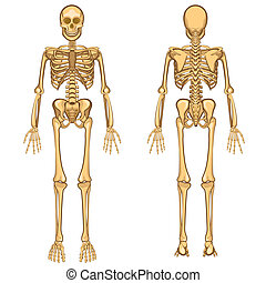 menschliche , vektor, skelett, abbildung