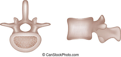 Menschliche Wirbelknochen