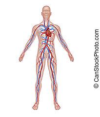 Menschliche Zirkulation Anatomie