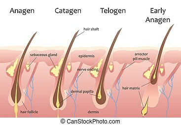 Menschlicher Haarwuchszyklus. Biologisches Katagen, Telogenphasen. Haarinfographien.