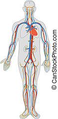 Menschlicher Körper und Blutkreislauf