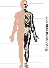Menschlicher Körper und Skelett