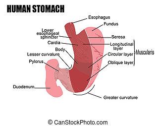 Menschlicher Magen.