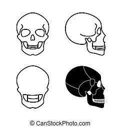 menschlicher schädel, anatomy.