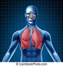 Menschlicher Sinus und Atemsystem