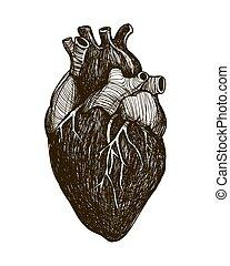 Menschliches anatomisches Herz
