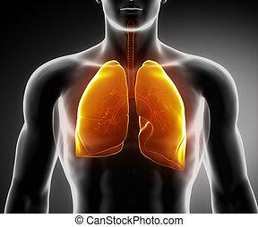 Menschliches Atemsystem mit Lungen und Bronchialbaum