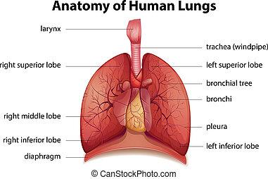 Menschliches Atemsystem.