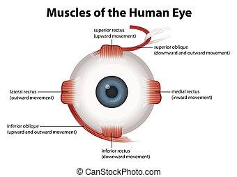 Menschliches Auge.