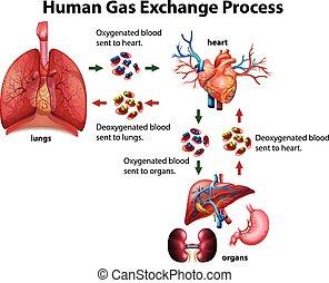 Menschliches Gasaustauschdiagramm.