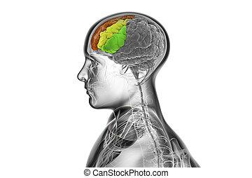 menschliches gehirn, hervorgehoben, frontal, gyri