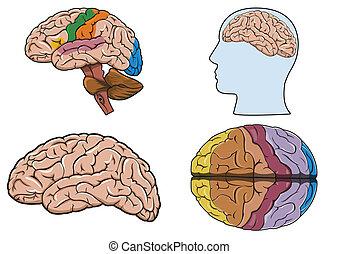 Menschliches Gehirn in Vektor