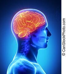 Menschliches Gehirn mit sichtbarem Schädelblick
