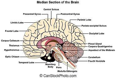 menschliches gehirn, mittlere, abschnitt, diagramm