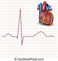 Menschliches Herz normaler Rhythmus und Herzanatomie.