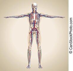 Menschliches Kreislaufsystem und Nervensystem.