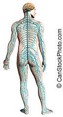 Menschliches Nervensystem-Diagramm.