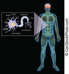 Menschliches Nervensystem.