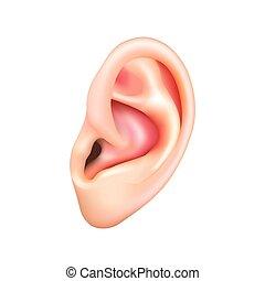 Menschliches Ohr isoliert auf weißem Vektor.