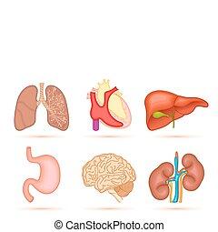 Menschliches Organ