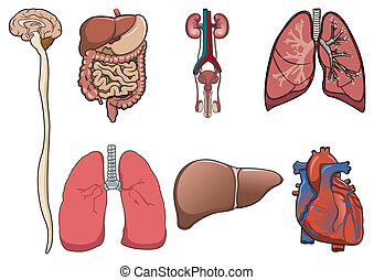 Menschliches Organ in Vektor