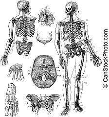 Menschliches Skelett, Jahrgang