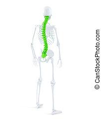 Menschliches Skelett mit hochliterierter Wirbelsäule. Isoliert. Enthält Klammerpfad