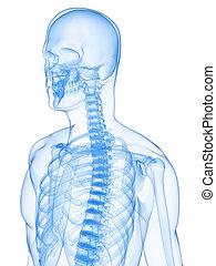 menschliches Skelett röntgen
