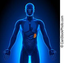 milz, medizin, -, imaging, mann, organe