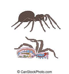 Morphologie, Querschnitt der Spinne.