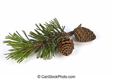 Mugho Pine Filiale und Wehen