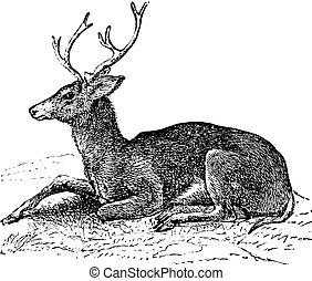 Mule deer oder Odocoileus hemionus Vintage