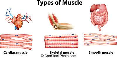 muskel, arten
