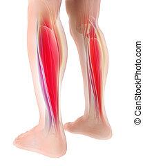 muskel, gastrocnemius, abbildung, koerperbau, teil, beine, 3d