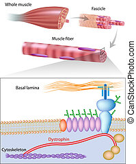 Muskelfaser mit Dystrophin, Eps10