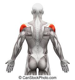 muskeln, -, freigestellt, abbildung, koerperbau, deltoid, weißes, muskel, 3d