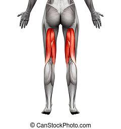 muskeln, -, freigestellt, abbildung, koerperbau, kniesehnen, weißes, muskel, 3d