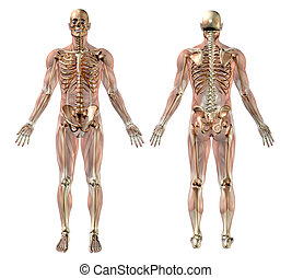 muskeln, mann, skelett, halbdurchsichtig